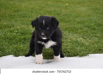 In Wyoming a curious black and white puppy touching snow for the first time