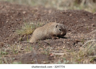 Wyoming Ground Squirrel - Rocky Mountain National Park