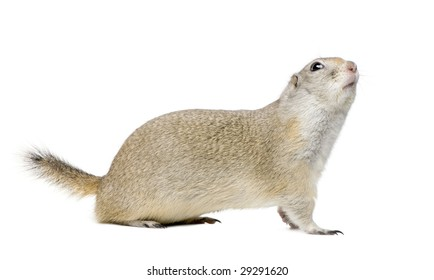 Wyoming Ground Squirrel - Spermophilus elegans (3 years old)in front of a white background