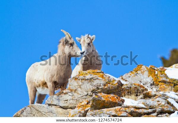 Wyoming, National Elk Refuge, Bighorn Sheep Ewe and Lamb nuzzling on cliff.
