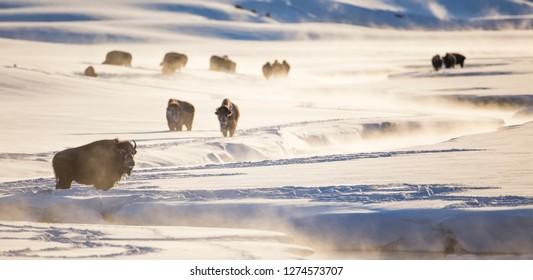 Wyoming, Yellowstone National Park, Bison herd along Alum Creek in winter.
