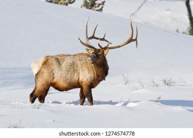 Wyoming, Yellowstone National Park, Bull Elk foraging for grasses through snowpack.
