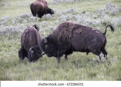 Wyoming's Yellowstone Bison, Buffalo fighting