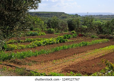 Xaghra, Gozo / Malta - 11/08/2018: Agricultural cultivation in rural Gozo