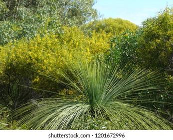 xanthorrhoea Western Australia Rockingham