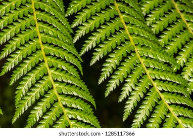 Xaxim Tree Fern (Dicksonia sellowiana)