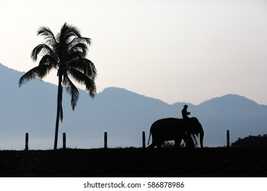 Xayaboury, Laos- FEBRUARY 17, 2017:A mahout (handler) a male Asian elephant heading to river for morning clean before the procession of 68 elephants at the Xayaboury elephant festival.