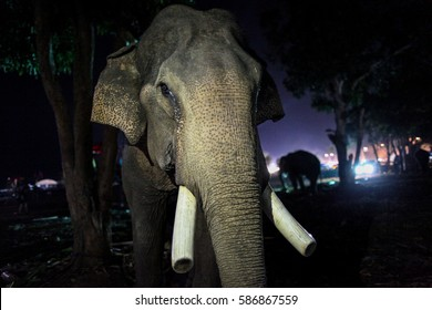 Xayaboury, Laos- FEBRUARY 17, 2017:elephants were chained at night near the festival after the procession of 68 elephants at the Xayaboury elephant festival, Xayaboury province, Lao PDR