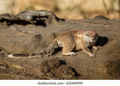 Xerus inauris - Cape ground squirrel