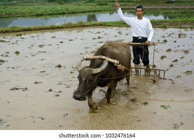 XINGPING, GUANGXI, CHINA, NOVEMBER 26, 2010. A farmer uses an Asiatic buffalo (water buffalo) and wood plow to till a flooded rice paddy on a cloudy day.