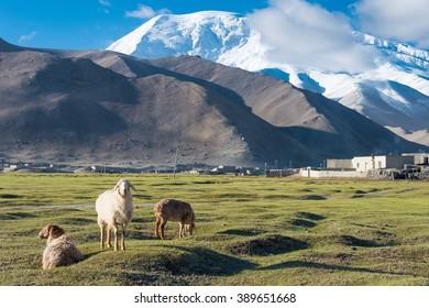 XINJIANG, CHINA - May 21 2015: Sheep at Karakul Lake. a famous landscape on the Karakoram Highway in Pamir Mountains, Akto County,Kizilsu Kirghiz Autonomous Prefecture, Xinjiang, China.