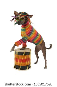 The Xoloitzcuintle dog in clothes and glasses plays the drum, isolated on white background