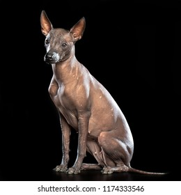 Xoloitzcuintle Dog Isolated  on Black Background in studio