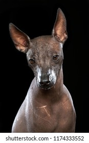 Xoloitzcuintle Dog Isolated  on Black Background in studio