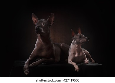 Xoloitzcuintle - hairless mexican dog breed, Studio portrait on a dark background