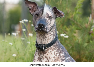 Xoloitzcuintle - hairless mexican dog  look forward to the camera