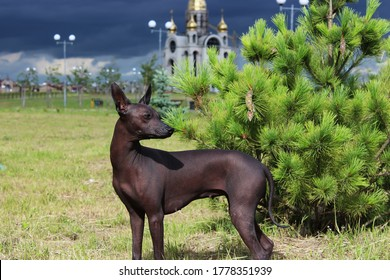 The Xoloitzcuintle , The Mexican Hairless Dog. A bald, dark dog stands against a background of green pine and storm clouds. Side view. The animal walks in nature in the summer.
