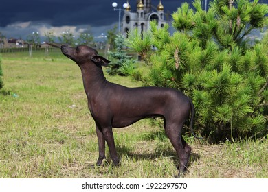 Xoloitzcuintli against a background of green spruce and dark blue sky . Mexican Naked Dog up close. A pet in the park. A bald dog of dark gray color in nature. Sideways View . Posing.