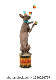 Xoloitzcuintli dog in a circus outfit juggling balls sitting on the drum isolated on white background