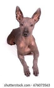 xoloitzcuintli or mexican hairless dog female puppy (5 m.o.) over white background
