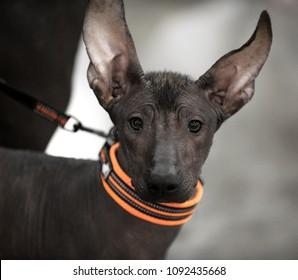 Xoloitzcuintli Mexican Hairless Dog puppy portrait close-up