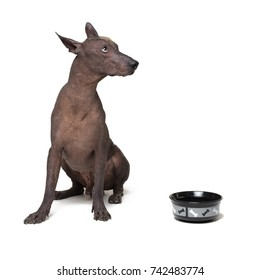 xoloitzcuintli, Mexican Hairless Dog, waiting and looks up to have his bowl filled food on white background. hungry Dog with a bowl.