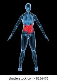 xray anatomy - intestines