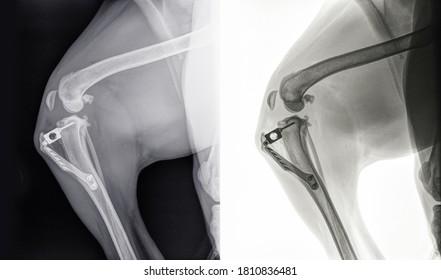 Röntgen eines Knies eines Hundes nach Tibial Tuberosity Advancement oder TTA Operation wegen eines Bruch-Bruch-Kreises. Einzeln auf Schwarz (links) und Weiß (rechts)
