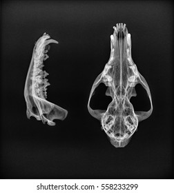 X-ray of the mandible and upper jaw of a dog. Dorsoventral and side view black and white