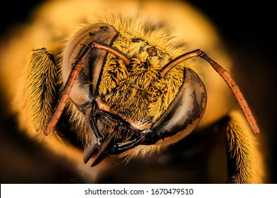 Xyclocopa caffra, bee Macro , Closeup of face fluffy head of bee, Flying insectbee Macro lens, Closeup of face fluffy head of bee, Flying insect