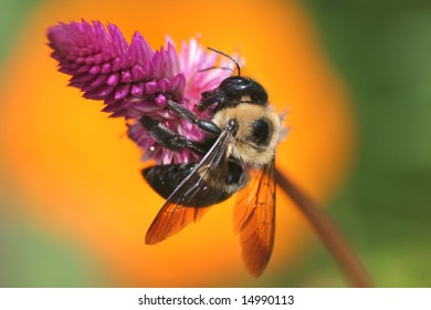 Xylocopa micans, Carpenter Bee