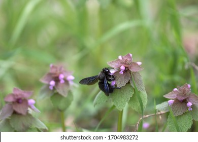 Xylocopa violacea common European species of carpenter bee and one of the largest bees in Europe and Asia