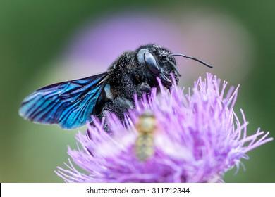 Xylocopa violacea, the violet carpenter bee