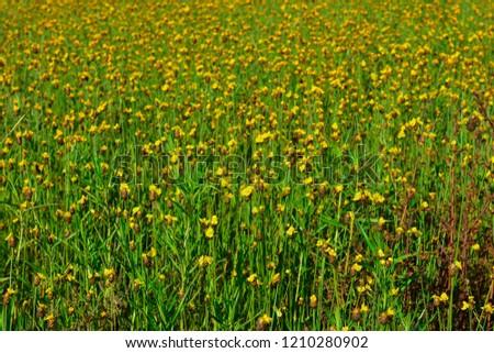 Xyridaceae Yellow Flower Grass Weeds Rice Fields Stock Photo Edit