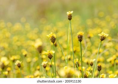 Xyris yellow flowers or Xyridaceae wild flower in Thailand