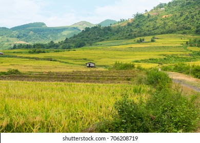 Y TY, SAPA, LAO CAI - September 2, 2017: rice ripe on terraced fields, rice farmers in Lao Cai, North Vietnam