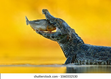 Yacare Caiman, crocodile with fish with open muzzle with big teeth, Pantanal, Bolivia. Detail portrait of danger reptile. Crocodile catch fish in river water, evening light.