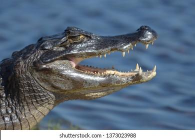 Yacare Caiman (Caiman yacare) jaws agape showing its teeth in the Pantanal, Brazil, South America.