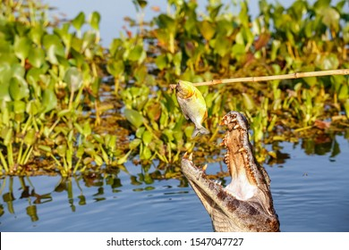 Yacare caiman jumps out of water for and caught a piranha, Pantanal Wetlands, Mato Grosso, Brazil