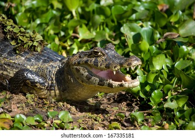 A Yacare caiman showing its yellow belly in the Brazilian Pantanal
