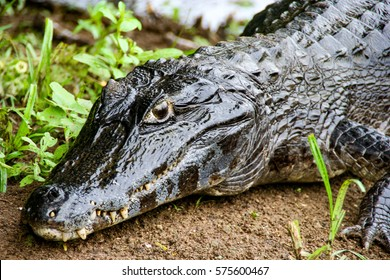 The yacare caiman is a species of caiman found in central South America, and this one was spotted in the Pantanal in Brazil