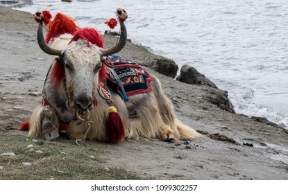 The yak with big horns and a beautiful saddle and a body cloth in traditional Tibetan style near the sacred lake Yamdrok-Tso with blue transparent water in the mountains of Tibet.