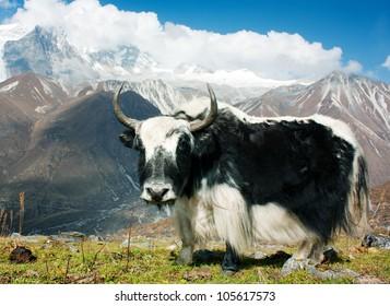 Yak - bos grunniens or bos mutus - in Langtang valley - Nepal