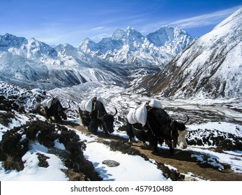 Yak caravan carrying goods walking up from Dingboche village to the destination in himalayas on a blue sky day with high snow mountain on background.