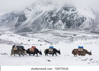 Yak caravan carrying stuff to Everest base camp with snow mountains scene.