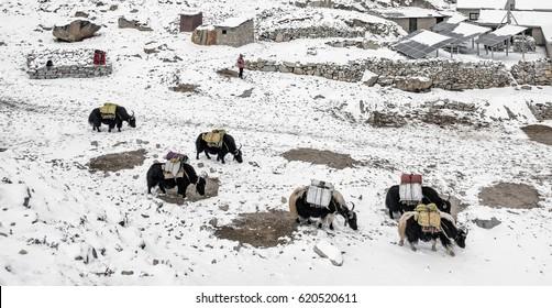 Yak caravan in Gorak Shep village in bad weather - Nepal, Himalayas