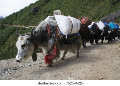 Yak Caravanning in Himalaya. They are walking to village from village with heavy baggages in Sagarmatha National Park, Nepal.