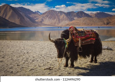 A yak clad in colourful Ladakhi costume standing at the Pangong lake in Leh, India.