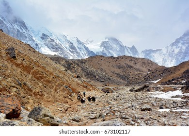 Yak drover with caravan of yaks on the way from Lobuche to Gorak Shep. Trek to Everest base camp, Nepal