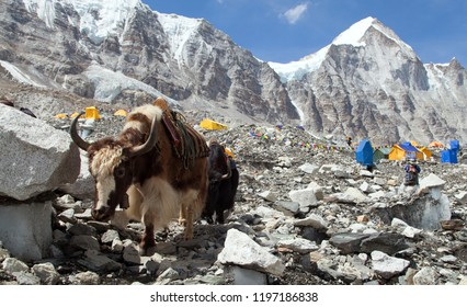 Yak in Everest base camp. Nepal himalayas mountains